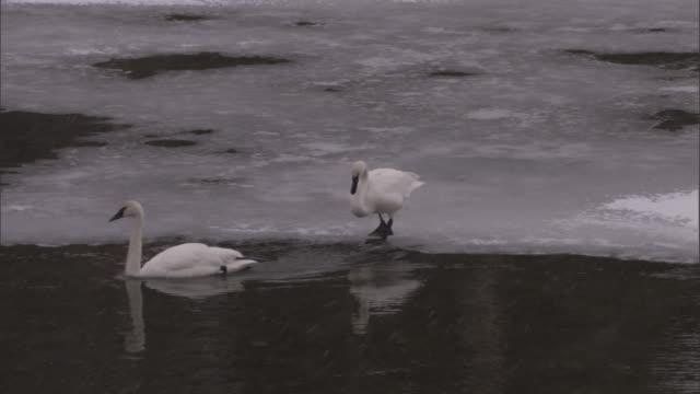 Trumpeter swans (Cygnus buccinator) slide off ice into water, Yellowstone, USA