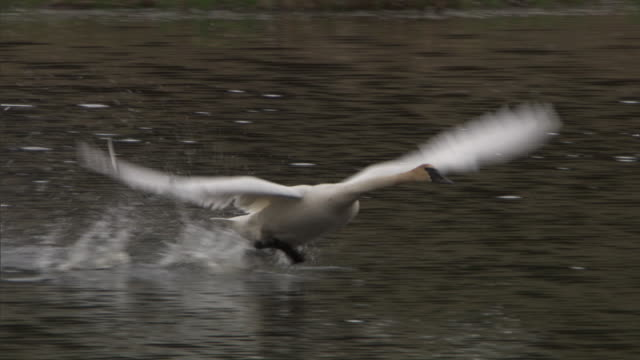 Trumpeter swans (Cygnus buccinator) take off from lake, Yellowstone, USA