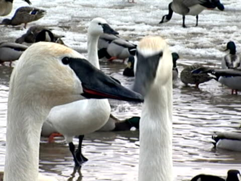 swans trombettiere