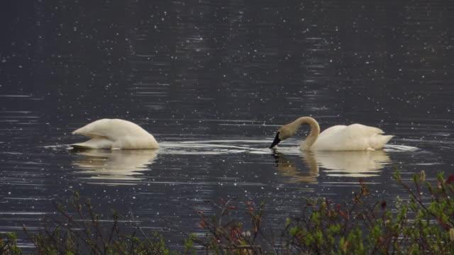 Trumpeter Swans.
