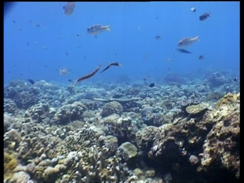 trumpetfish fighting among other fish over coral reef, sabah, borneo, malaysia - trumpet fish stock videos & royalty-free footage