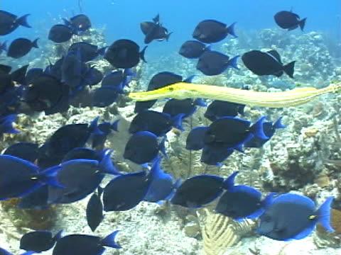 trumpetfish hunting amongst blue tangs - trumpet fish stock videos & royalty-free footage