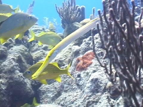 trumpetfish hunting - trumpet fish stock videos & royalty-free footage