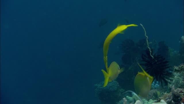 Trumpetfish (Aulostomus maculatus) swims over coral reef, Manado, Indonesia