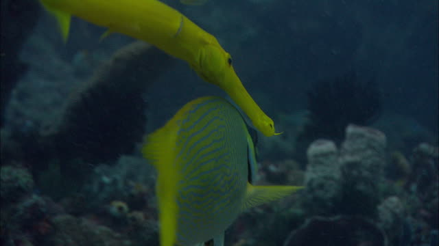 Trumpetfish (Aulostomus maculatus) swims with masked rabbitfish (Siganus puellus), Manado, Indonesia