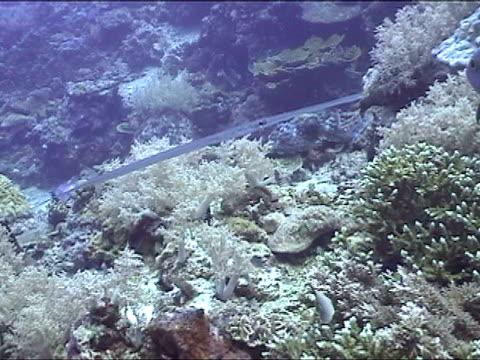 vidéos et rushes de ms, pan, trumpetfish underwater, new britain island, papua new guinea - groupe moyen d'animaux