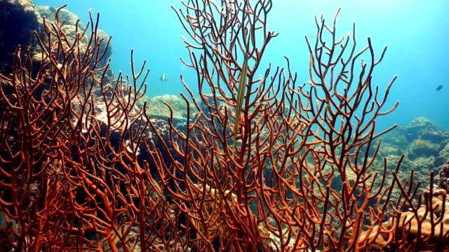 trumpetfish (autostomus chinensis) using fan coral (gorgonia) as camoflage, ko haa, andaman sea, krabi, thailand. - trumpet fish stock videos & royalty-free footage