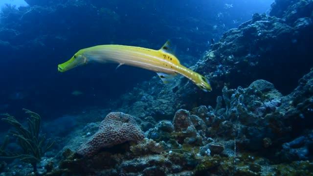 trumpetfish. - trumpet fish stock videos & royalty-free footage