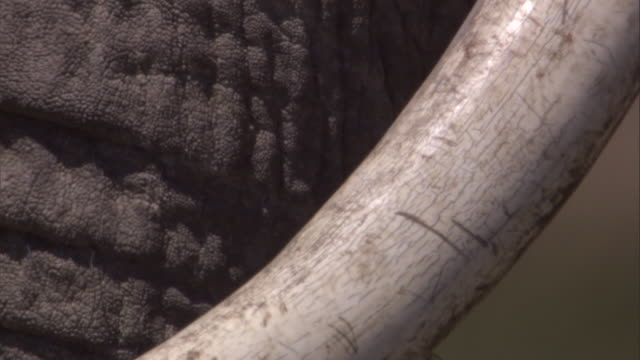 trunk and tusk of african elephant available in hd. - 象牙点の映像素材/bロール