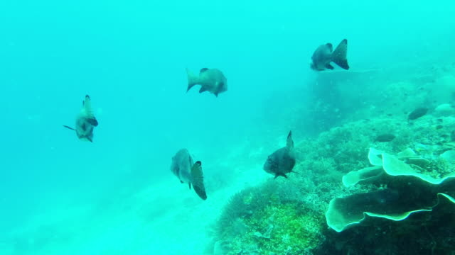 trying to blend in with the marine life - humphead wrasse stock videos & royalty-free footage