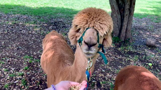 trying to hand feed stubborn alpaca on alpaca farm - herbivorous stock videos & royalty-free footage