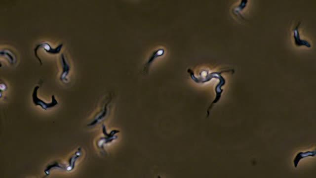 trypanosoma brucei parasites - parassita video stock e b–roll