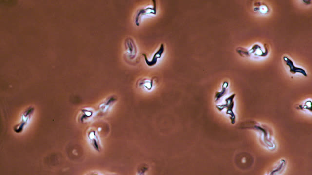 trypanosoma brucei parasites - animale microscopico video stock e b–roll