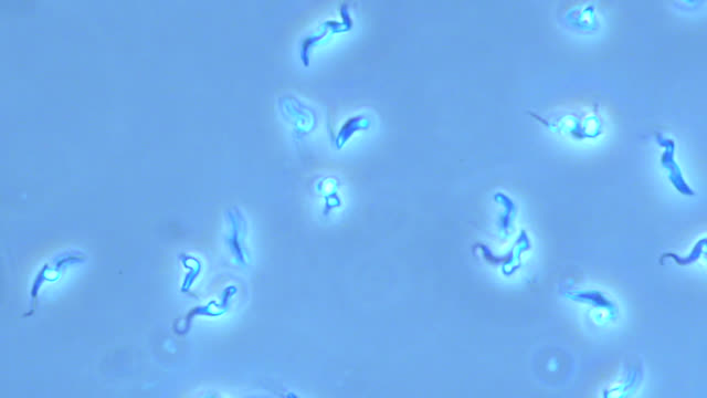 trypanosoma brucei parasites - life cycle stock videos & royalty-free footage