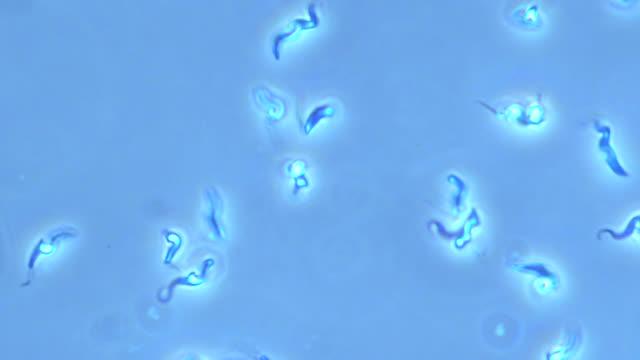 Trypanosoma brucei parasites
