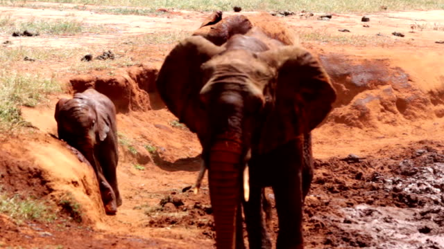 tsavo east african red elephants - safari animals stock videos & royalty-free footage