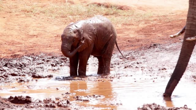 tsavo east african red elephants - mud stock videos & royalty-free footage