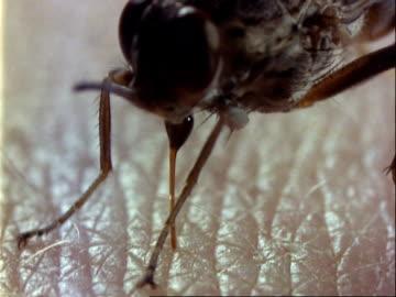 tsetse fly, bcu feeding on human arm, inserts proboscis deep into skin - human arm stock videos & royalty-free footage