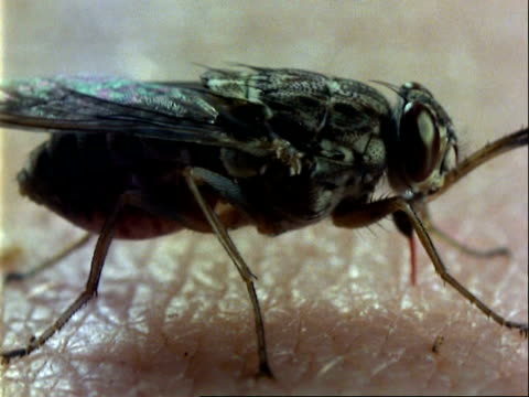 tsetse fly, cu body swelling as feeds on human arm - human arm stock videos & royalty-free footage