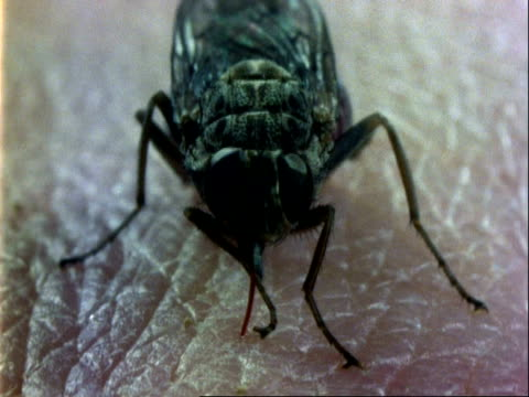 tsetse fly, cu feeding on human arm, walks off, blood on skin - human arm stock videos & royalty-free footage