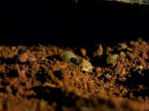 vídeos de stock, filmes e b-roll de tsetse fly, cu larva on soil, moves away from camera - invertebrado