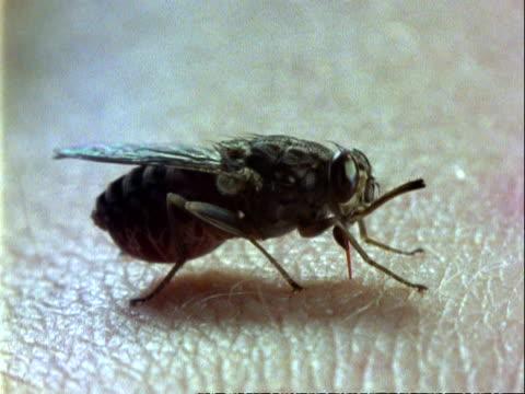 tsetse fly, mcu feeding on human arm, abdomen swells as it fills with blood - human arm stock videos & royalty-free footage