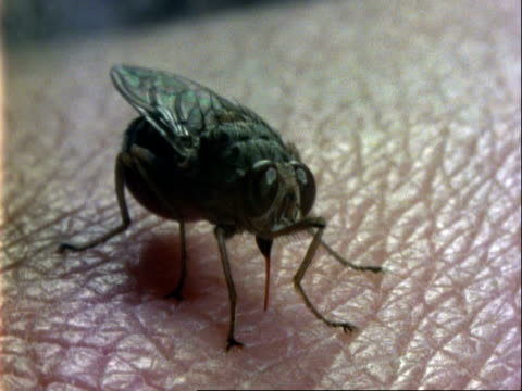tsetse fly, cu on skin, spot of blood on skin where fly has been feeding - バイオハザードマーク点の映像素材/bロール