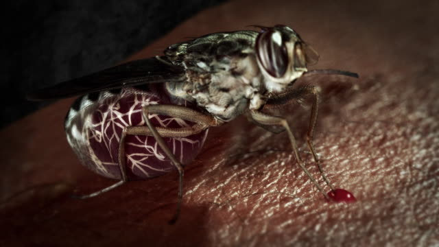 a tsetse fly sucks blood in a computer-generated animation. - symbiotic relationship stock videos & royalty-free footage