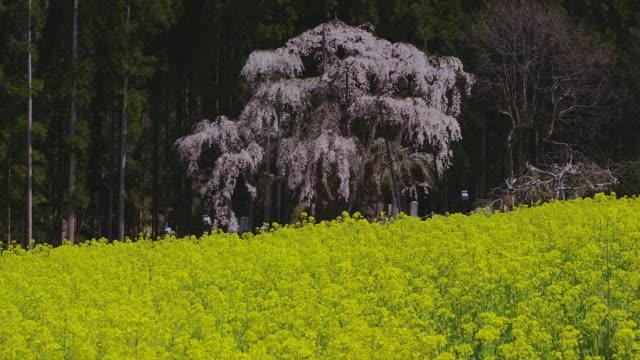 tsuboi weeping cherry tree in bloom - crucifers 個影片檔及 b 捲影像