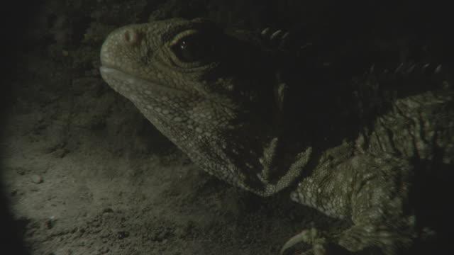 tuatara breathing in a burrow - neuseeland stock-videos und b-roll-filmmaterial