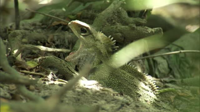 Tuatara (Sphenodon punctatus) gapes in forest, Stephens Island, New Zealand