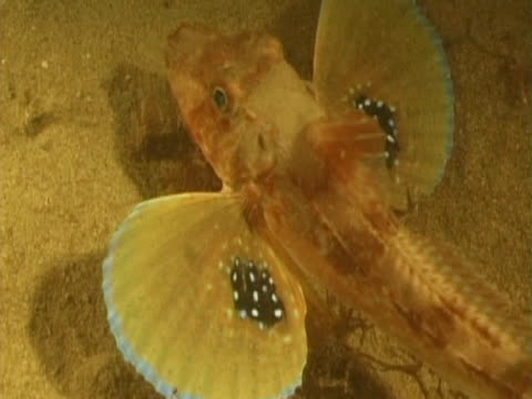 tub gurnard feeding at night - tierfarbe stock-videos und b-roll-filmmaterial