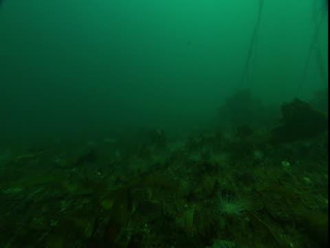 tube anemones, kelp and seashells cover the ocean floor. - kelp stock-videos und b-roll-filmmaterial