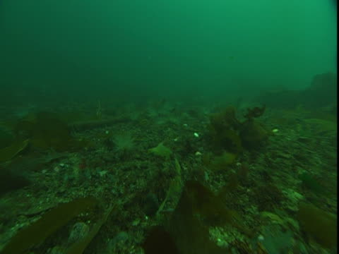 tube anemones, kelp and various marine organisms cover the ocean floor. - kelp stock videos & royalty-free footage