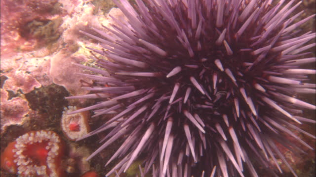 tube feet and spines of spawning purple sea urchin (strongylocentrotus purpuratus), california, usa - ricci di mare video stock e b–roll