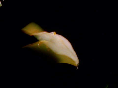 vídeos de stock e filmes b-roll de tube nosed bat hovers then flies away at night, new britain, papua new guinea - pairar