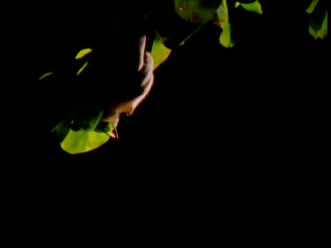 tube nosed bat picks fruit from tree and flies away with it at night, new britain, papua new guinea - gliedmaßen körperteile stock-videos und b-roll-filmmaterial