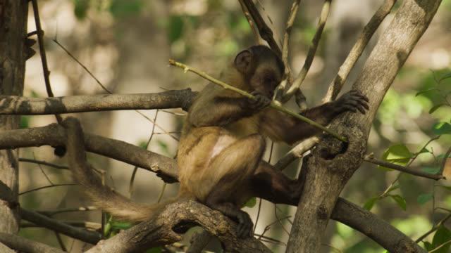 tufted capuchin (sapajus apella) uses stick to fish for grubs in hollow tree. - 枝点の映像素材/bロール