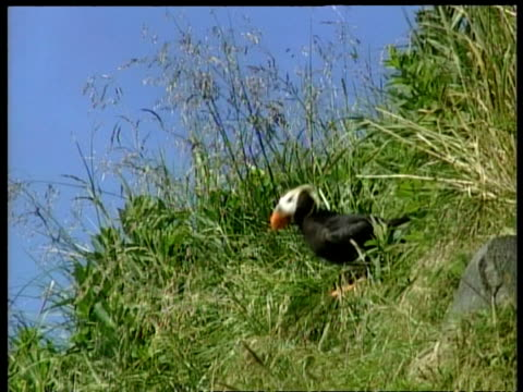 ms tufted puffin, fratercula cirrhata, on cliff taking flight, arctic circle - animal's crest stock videos and b-roll footage