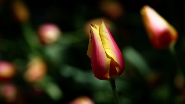 Tulpe in Arlington National Cemetery