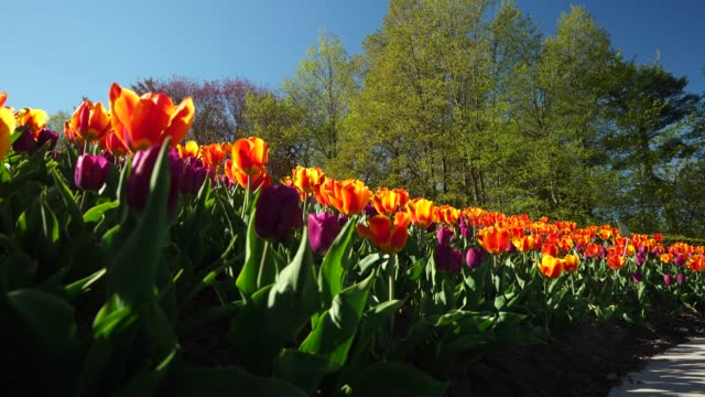 tulip bed - ottawa stock videos & royalty-free footage