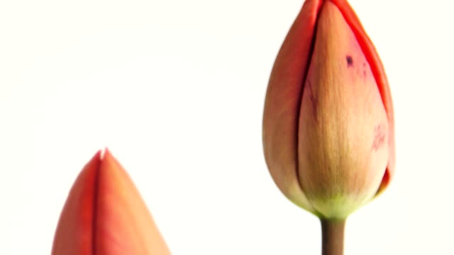tulip colors - bouquet stock videos & royalty-free footage