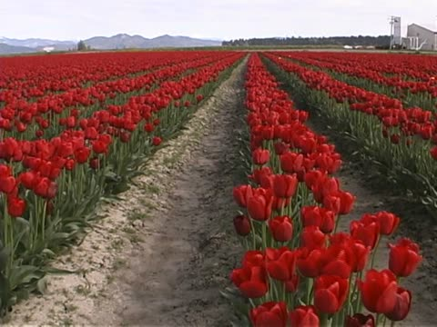 tulip farm #04 - lily family stock videos & royalty-free footage