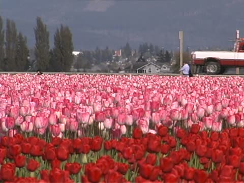 tulip farm #05 - lily family stock videos & royalty-free footage