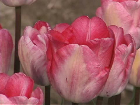 tulip farm #06 - lily family stock videos & royalty-free footage