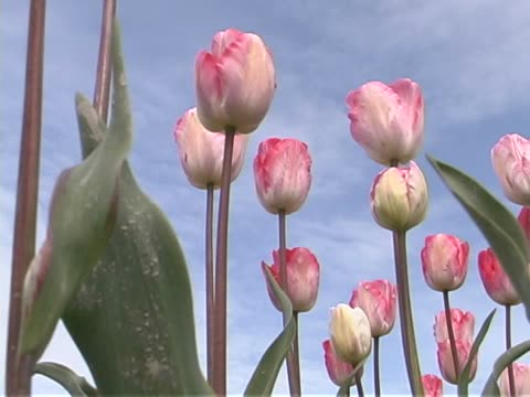 tulip farm #08 - lily family stock videos & royalty-free footage