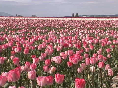 tulip farm #10 - lily family stock videos & royalty-free footage