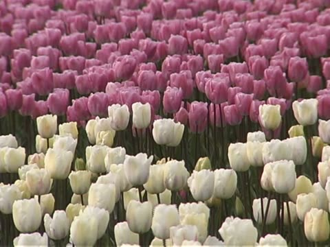 tulip farm #11 - lily family stock videos & royalty-free footage