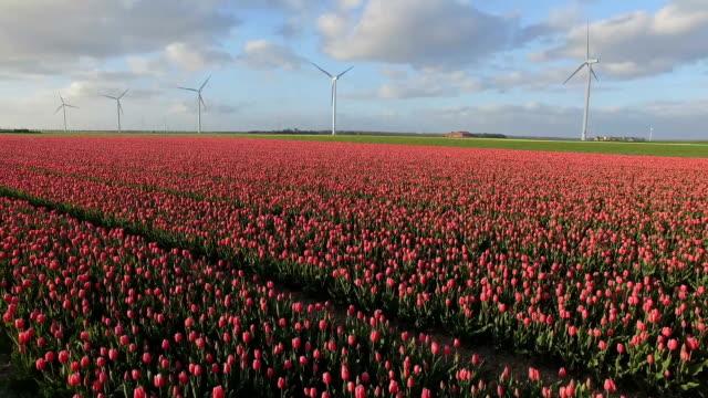 Tulip field and wind turbines