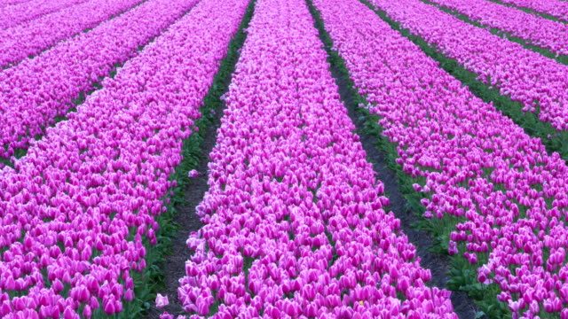 Tulip field close up. South Holland, Netherlands.